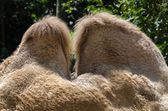 Humps of a camel — Stock Photo
