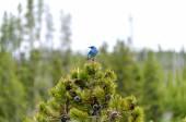Pássaro azul — Fotografia Stock