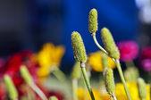 Dekoratif çimenler — Stok fotoğraf