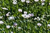 Poppy — Stock Photo