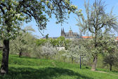 View on the spring Prague with gothic Castle, green Nature and flowering Trees, Czech Republic — Stock fotografie