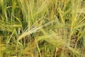 Detalle de la espiga de maíz — Foto de Stock