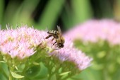 Bee on the pinkFlower in the green Nature — Stock Photo