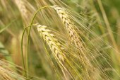 Detail of ripe Barley Spikes — Stock Photo