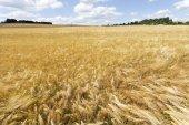 Summer Field of the ripe Barley — Stock Photo