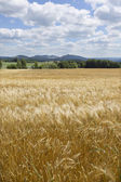 Summer Field of the ripe Barley — Stock Photo