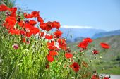 Poppies in summer — Stock Photo