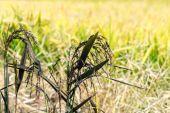 черный рис поле летом, ломеллина (италия) — Стоковое фото