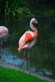 Flamingos — Stock Photo