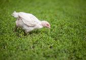 Volný, rozsah bílé kuřecí krmení v zelené trávě — Stock fotografie