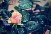 Red and orange rose flower close-up photo with shallow depth of  — Stock Photo