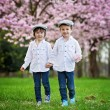 Two adorable caucasian boys in a blooming cherry tree garden, sp — Stock Photo #70902057