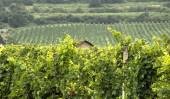Green Vineyards with Old house — Stock Photo