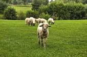 Sheep Horde — Stock Photo