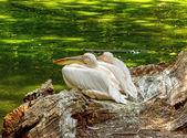 Pelicans — Photo
