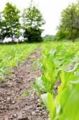Zemědělský pozemek, na kterém vyrostou rostliny kukuřice — Stock fotografie