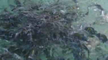 School of sergeant major damsels fish — Stock Video