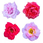 Set of blossom roses  — Stock Photo