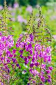 Flowered willow-herb. — Stock Photo
