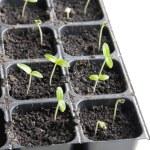 Seedlings — Stock Photo #65875705