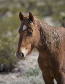 Profile head shot of a Nevada Wild Horse — Stock Photo