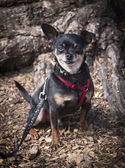 Chihuahua with a grim — Стоковое фото