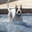 Dog in the pool on a step — Stock Photo #70213479