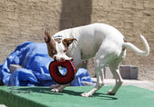 綱引きおもちゃで遊ぶ犬 — ストック写真