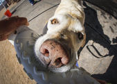 Over the top close up with a fisheye lens of a yellow lab and a toy — Stock Photo