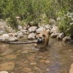 Bulldog picking the biggest stick in the creek — Stock Photo #74812985