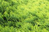 Thuja occidentalis background, texture — Stock Photo