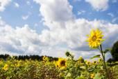 Field of sunflowers (Helianthus annuus) — Stock Photo