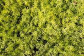 Green decorative plant background — Stock Photo