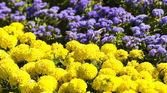 Blossom chrysanthemum flowers — Stock Photo