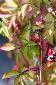 Wild grape leaves — Stock Photo