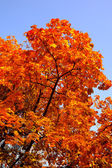 Fall leaves on a tree — Stock Photo