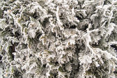 Thuja occidentalis winter background — Stock Photo