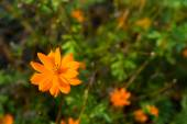 Orange Tagetes flower (marigold) — ストック写真