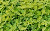 Closeup Mint background — Stock Photo