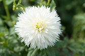 White dahlia flower on green background — Stock Photo