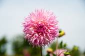 Beautifull pink dahlia — Stock Photo