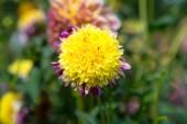 Beautidul yellow dahlia — Stock Photo