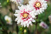 Read and white Dahlia — Stock Photo