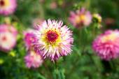 Read. pink and white Dahlia — Stock Photo