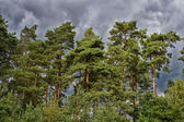 View of pine-tree forest in the summer — Stock Photo