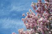 Pink magnolia trees over blue sky — Foto Stock