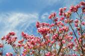 Pink magnolia trees over blue sky — Stock Photo