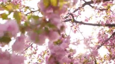 Sakura is blooming during the spring day — Vídeo stock