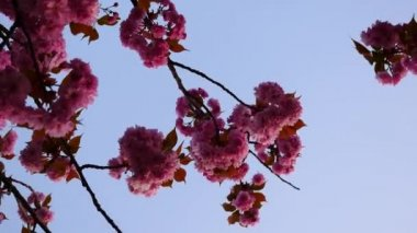 Japanese cherry bloom — Stockvideo