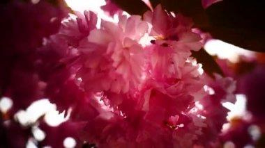 Japanese cherry bloom closeup — Stock Video